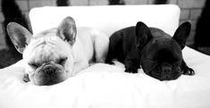 Oreo snoozing  (French bulldogs)