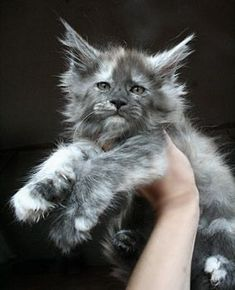 A*Mainefield's Janne Da Arc (MCO fs 09) maine coon tortie http://www.mainecoonguide.com/maine-coon-personality-traits/