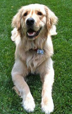 Golden Retriever. I NEED THIS DOG!