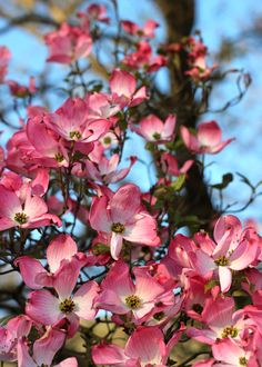 Spring Flowers - Dogwood Blossoms