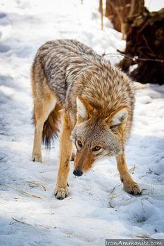 Cayote in Snow- Maine Wildlife Reserve by Paul Williams