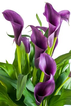 Do you want to know what does the calla lily symbolize? A darling of wedding planners, calla lily is a very attractive flower which not only has some legends attached to it, but it also has some symbolic meaning. Purple Calla Lilies, Calla Lily Flowers, Lilly Flower, Purple Lily, Flower Art, Exotic Flowers, Amazing Flowers, Beautiful Flowers, Lily Meaning