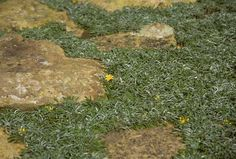 """""""Dymondia margaretae, also called silver carpet, is a tough, drought tolerant ground cover that creeps between steppingstones or forms a large expanse of silver and green foliage. It's so tough that it can be walked on, even driven on, without much damage."""""""