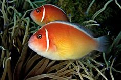 Double Skunk Clown Fish.jpg