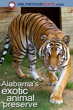 Travel   Alabama   Attractions   Exotic Sanctuary   Animal Preserves   Things To Do   Places To See   Alabama Photography   Day Trips   Bucket Lists   Tigers for Tomorrow   Untamed Mountain   Road Trips