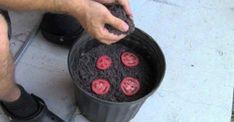 Sluta köpa tomater i affären. Så HÄR odlar man de lätt hemma!