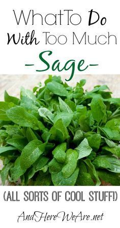 Herbs Culinary herbs Planting herbs Herb garden Preserving herbs Growing herbs What to Do With Sage Especially when you have too much Healing Herbs, Medicinal Plants, Herbal Remedies, Natural Remedies, Health Remedies, Holistic Remedies, Herbs For Health, Herb Recipes, Sage Recipes