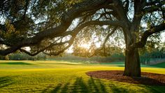 The Big Oak Tree at Augusta National.