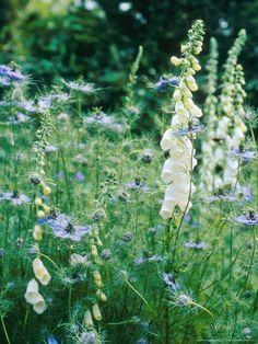 White foxglove - Digitalis x 'Alba' and Love in a Mist - Nigella damascena