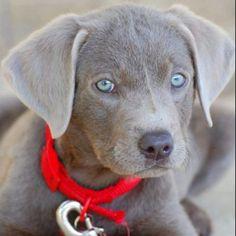 Silver Labrador Retrievers | SILVER Labrador Retriever | Bear Dog