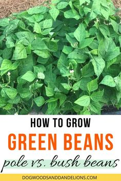 Growing Bush Beans, Growing Green Beans, Growing Greens, Gardening For Beginners, Gardening Tips, Vegetable Gardening, Container Gardening, Green Bean Seeds, Grean Beans