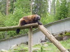 Wolverine, Ähtäri Zoo in Finland
