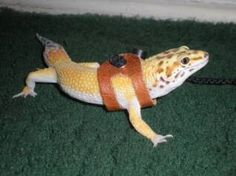 This is Jack.  He is a Leopard Gecko, but specifically a Super Hypomelanistic Carrot Tail.  My female is a Tremper Albino. Her name is Clementine.  Someday I am going to let these 2 breed and raise the eggs in my Hovabator.  I would LOVE their children.