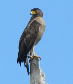 Central Nicobar Serpent Eagle(Spilornis minimus)