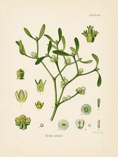 Mistletoe. Kohler's Medizinal-Pflanzen Prints 1898