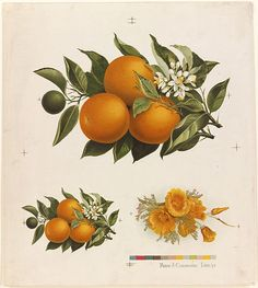 Oranges and Poppies chromolithograph ( 1861 - 1897)  published by L. Prang & Co.  Boston Public Library.  Wikimedia.