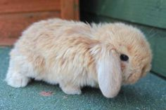 Mini Dwarf Lop Rabbit