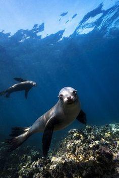 California Sea Lion Portrait. ☆.¸¸.•´¯`♥ re-pinned by http://www.wfpblogs.com/author/nicolerichards/ ♥´¯`•.¸¸.☆