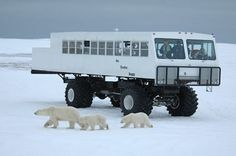 POLAR BEARS IN CHURCHILL, MANITOBA (Robert Taylor); have to go in Oct, Nov, Dec.  The place to go to see polar bears.  guaranteed sightings