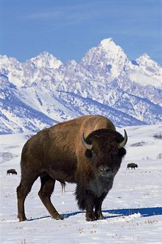 Don't forget to celebrate National Bison Day on Saturday! Bison are an iconic symbol of the American West. Once numbering more than 50 million animals across the plains, bison are now mainly relegated to a few captive herds. Wildlife Photography, Animal Photography, Photography Poses, Beautiful Creatures, Animals Beautiful, Animals And Pets, Cute Animals, American Bison, Majestic Animals
