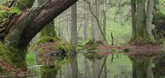 Puszcza Białowieska: A w lesie...