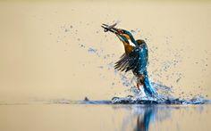fugl, splash, fangst, isfugl, vand
