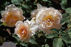 'Perdita' Roses