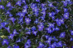 Lobelia 'Techno Heat Upright Dark Blue' Lobelia