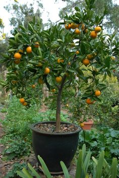 Citrus are incredibly greedy and need regular feeding. Long term large plants in pots.