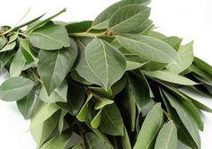Los efectos calmantes de las hojas de laurel son tan ciertamente eficaces que pueden llegar a aliviar los dolores de la artritis y mejoran la circulación.