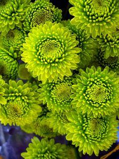Lime green mums!  #mums #green #flowers