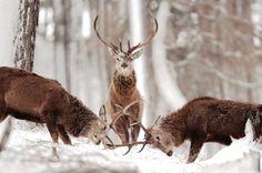 Duel en sous-bois. Image rare d'un combat de cerfs sous le regard d'un arbitre impassible et expert. Dans les forêts britanniques, la lutte pour s'imposer dans la harde entraîne les mâles à toutes les hardiesses, notamment pendant la période du rut. Si les combats sont souvent évités, il faut parfois laisser parler les bois. Les vieux mâles, eux, forts de leur expérience, comptent souvent les points en véritables maîtres du jeu. Jaugeant, tel un bretteur avisé et avec un flegme