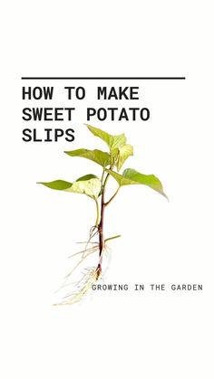Planting Vegetables, Growing Vegetables, Veggies, Sweet Potato Slips, Growing Sweet Potatoes, Vegetable Garden Planning, Seed Germination, Square Foot Gardening, Small Garden Design