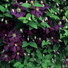 Clematis viticella Etoile Violette - Friedrich M. Westphal Clematiskulturen
