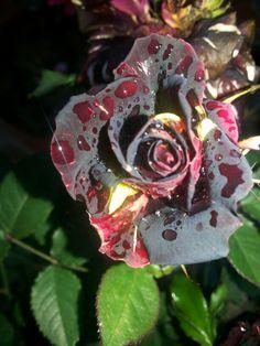 Black Tiger rose