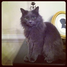 Tobias Fluffy lV, our handsome Nebelung.The Nebelung is an elegant cat breed which is only slowly perceived by the cat breeders. The name Nebelung, a portmanteau of smoke and the cat can be made of the silky blue-gray fur and the name derives from its first parents, Siegfried and Brunhilde, named after two main characters of the Nibelungenlied.