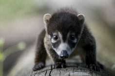 White-Nosed Coati- Saw this at the Fresno Zoo. Must have.