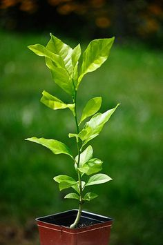grow lemon trees from seeds