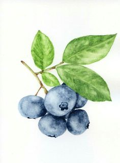 Blueberries watercolor