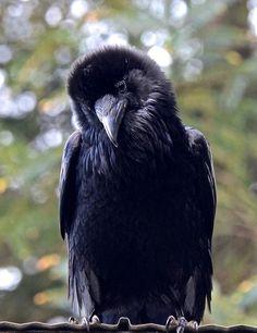 Raven - via Wendy Davis