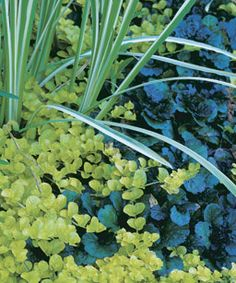 Golden creeping Jenny's brilliant foliage looks stunning against dark-colored plants.  Great in a shady spot for a pop of color. (good article on creeping groundcover plants from Fine Gardening)