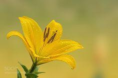 Lily by Kanagasabai-1