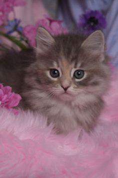 Siberian kitten!    love that little face.