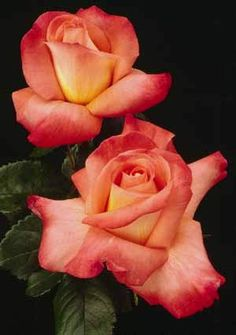 This is Oktoberfest from Weeks Roses and this year I'm finally going to get one.  I work at a garden center and got my rose order in early enough this time to get this rose before it sold out.  Yea me!