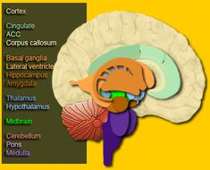 Diagram of the Brain highlighting the Basal Ganglia, Thalamus, and Cortex - Structures implicated in Tourette Syndrome (diagram also includes other brain structures)