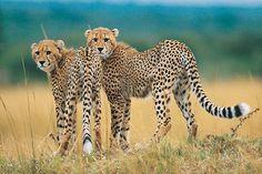 Leopards in South Africa - www.global-travels.net/za