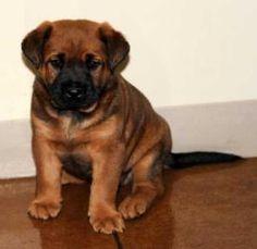 Bulldog Boxer Mastiff Mix Puppies Needing a forever Home