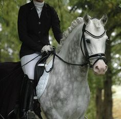 stunning grey horse ready for a dressage competition