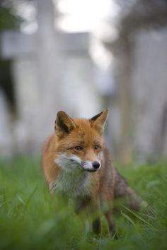 Another wonderful fox photo by @RichardBowler1