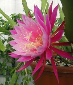 My parents have white ones... i want this pink!!!!   Epiphyllum (Orchid Cactus) Grace Ann